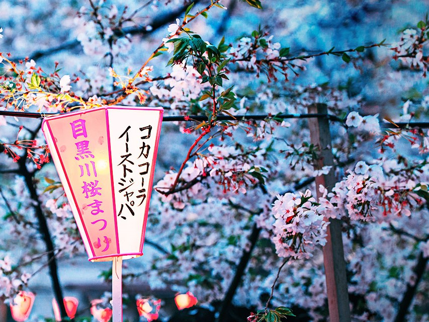 The cherry blossom in Japan, where is one of Tujia's overseas markets. PHOTO: Credit to Tujia