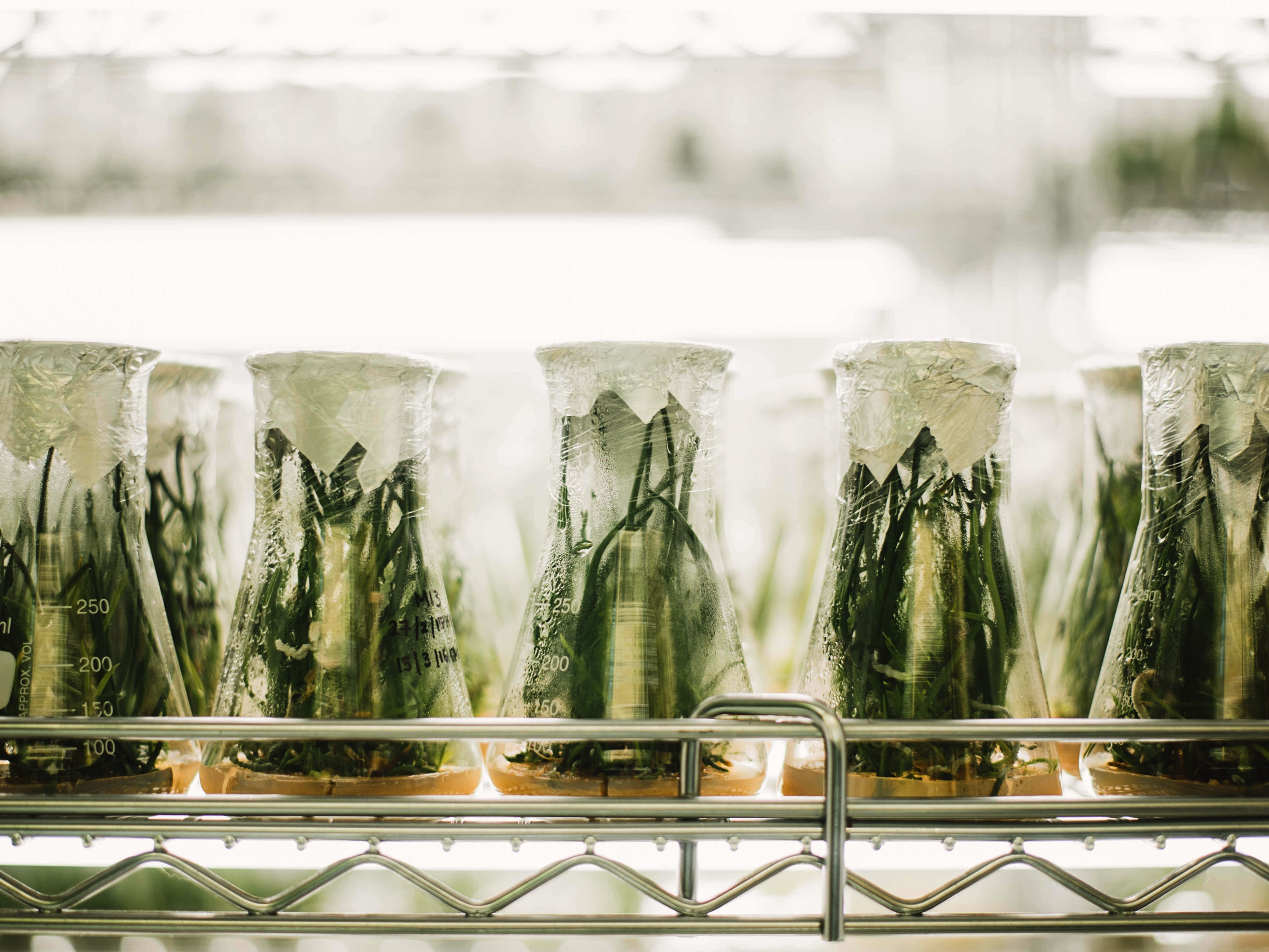 Herbal plants in the beakers are observed for pharmaceutical experiment. Image credit: Chuttersanp/Unsplash