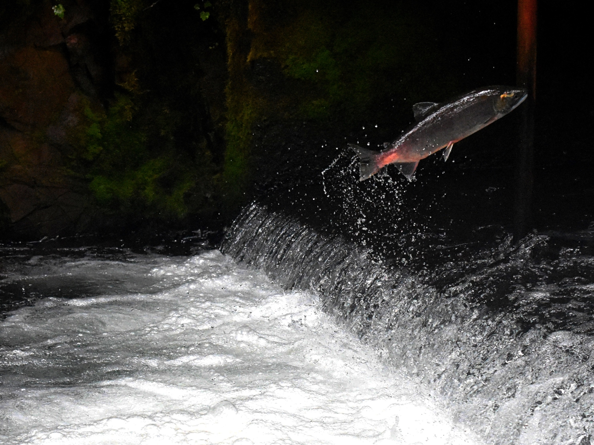 YuYue literally means a fish is trying to jump over a barrier. Image credit: Drew Farwell/Unspalsh